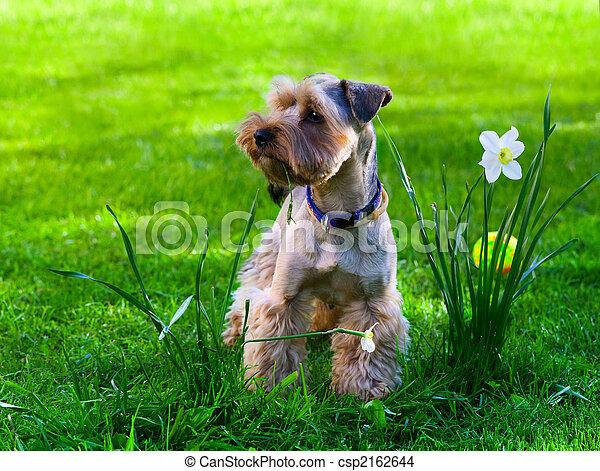 Yorkshire Terrier cachorro en hierba verde - csp2162644